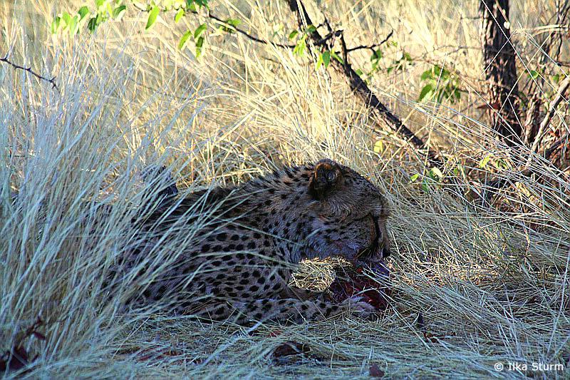 was fressen geparden