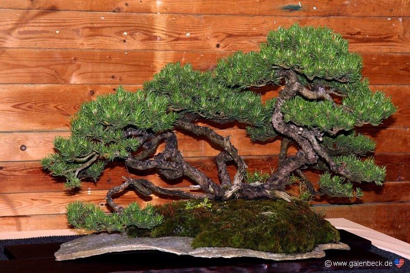 sterreichische bonsai nationalausstellung 2011. Black Bedroom Furniture Sets. Home Design Ideas